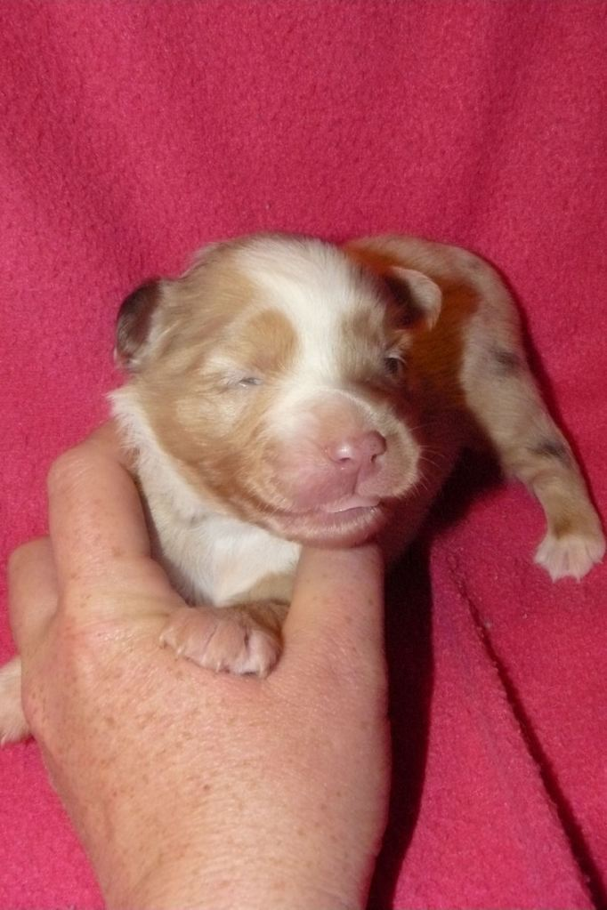 Red Merle Female Dixie at 12 days out of Piper