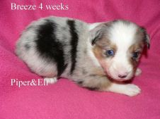 Breeze at 4 weeks old. Out of Piper and Eli Sold