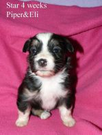Star at 4 weeks old. Out of Piper and Eli Sold