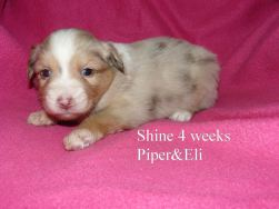 Shine at 4 weeks old. Out of Piper and Eli Sold