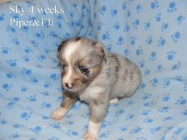 Sky at 4 weeks old. Out of Piper and Eli Sold