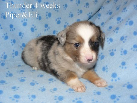 Thunder at 4 weeks old. Out of Piper and Eli Sold