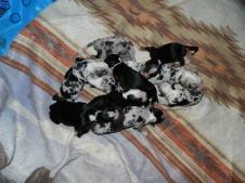 Laska's Pups