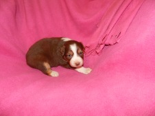 Candy Red Tri Female