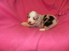 Easter Blue Merle Female