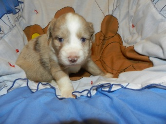 Peeps Red Merle Male