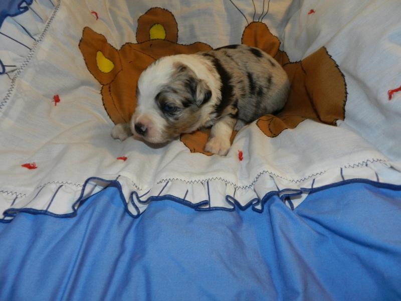 Sleepy Blue Merle Male