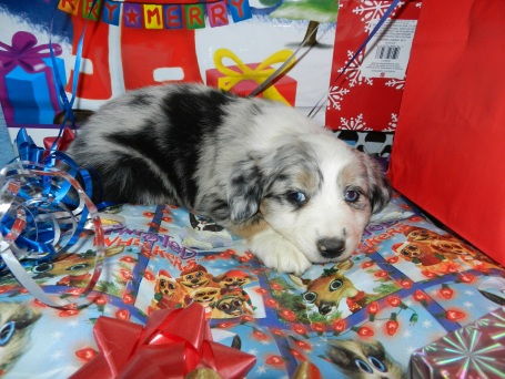 Banchee Blue Merle Female Sold