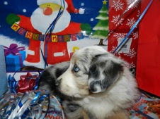 Banchee Blue Merle Female Banchee Sold