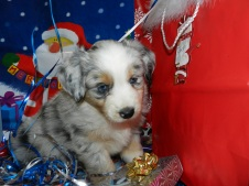 SOLD Bones Blue Merle MaleAvailable
