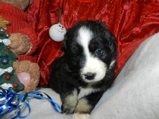 Cherokee Available Black Tri Female