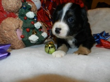 Choctaw Male Available