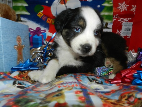 Not So scary Panda Black Tri Female Two blue Eyes SOLD Full Collar