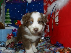 Treat Red Tri Male One Blue Eye Available