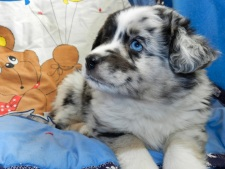 Comanche SOLD Blue Merle Male