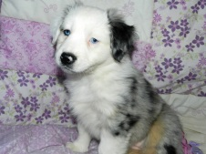 Pumpkin AVAILABLE Blue Merle Female