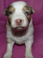Scarlet Oak Red Merle