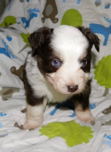 Hawk Red Tri Male One possiable blue eye