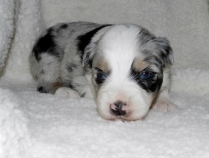 Rocky Road Blue Merle Male