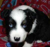 Ghost Black Tri Male with blue eyes $2000 placed