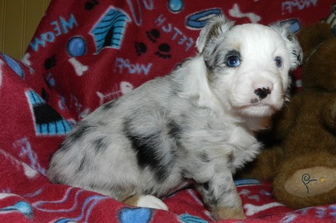 CC Blue Merle Female Placed
