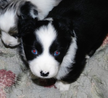Cupcake Male Avalaible $1800 two blue eyes
