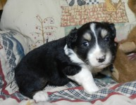 PLACEDDonald BLACK TRI MALE$1400