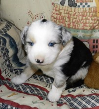 PLACED MICKEY BLUE MERLE MALE $1800