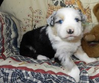 PLACED BLUE MERLE MALE $1800