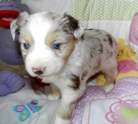 PLACED CLARABELLE FEMALE RED MERLE $1800 PLACED