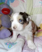 Available DAISY FEMALE RED MERLE $1800 PLACED