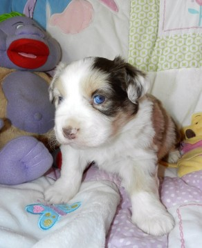Placed DAISY FEMALE RED MERLE $1800 PLACED