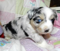 PLACED MINI BLUE MERLE FEMALE PLACED