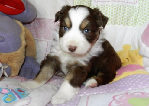 PLACED MELODY RED TRI FEMALE $ 1400