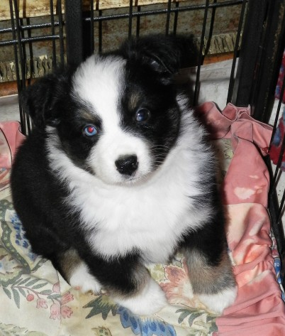 Placed Pongo male$1400