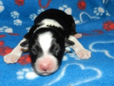 Sculptor Black TRi Male AVAILABLE pending eye color