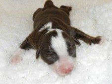 Frost Red Tri Male AVAILABLE Pending eye color