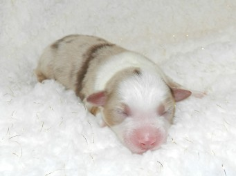 Cider Red Merle Female AVAILABLE $1800