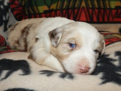 DRACO RED MERLE MALE $1800