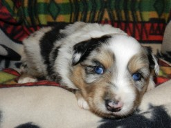 MILKYWAY BLUE MERLE MALE$1800
